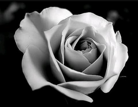 rosa-branca-8726985-180420171625